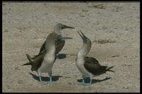 : Sula nebouxii; Blue-footed Booby