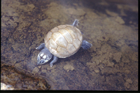 : Podocnemis unifilis; Yellow-spotted River Turtle