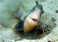 Pseudobalistes flavimarginatus, Yellowmargin triggerfish: fisheries