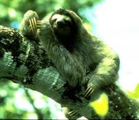 Image of: Bradypus variegatus (brown-throated three-toed sloth)