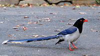 Image of: Urocissa erythrorhyncha (red-billed blue magpie)