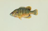 Image of: Lepomis cyanellus (green sunfish)