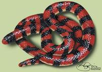 Image of: Anilius scytale (false coral snake)