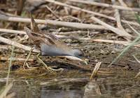 Little Crake (Porzana parva) photo
