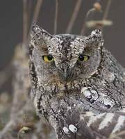 European Scops-Owl (Otus scops) photo