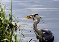 A sideways view of a heron proudly holding a fish in its mouth.