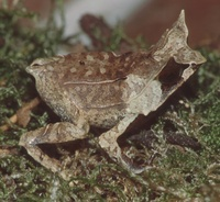 : Megophrys nasuta; Long-nosed Horned Frog