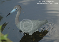 : Egretta caerulea; Little Blue Heron