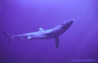 : Prionace glauca; Blue Shark