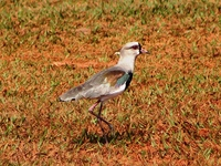 : Vanellus chilensis; Southern Lapwing