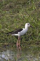 Himantopus himantopus   Black-Winged Stilt photo
