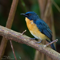 Mangrove Blue Flycatcher Scientific name - Cyornis rufigastra blythi (endemic race)