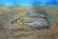 Mystus gulio, Long whiskers catfish: fisheries