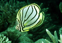 Chaetodon meyeri, Scrawled butterflyfish: fisheries, aquarium