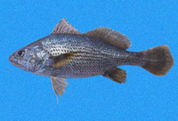 Stellifer chrysoleuca, Shortnose stardrum: fisheries