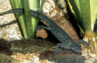 Pleurodeles waltl - Sharp-ribbed Newt