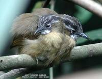 Grey-throated Babbler - Stachyris nigriceps