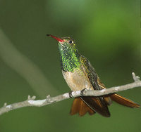 Buff-bellied Hummingbird (Amazilia yucatanensis) photo