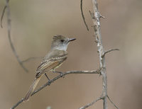 Dusky-capped Flycatcher (Myiarchus tuberculifer) photo