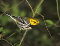 Black-throated Green Warbler (Dendroica virens) photo