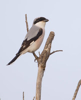 Lesser Grey Shrike (Lanius minor) photo