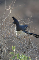 : Corythaixoides leucogaster; White Bellied Go-Away Bird