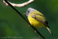 Grey-headed Flycatcher 方尾鶲