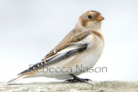 Snow Bunting Photograph by Rebecca Nason