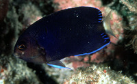 Centropyge flavicauda, Whitetail angelfish: aquarium