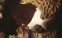 Chromis dimidiata, Chocolatedip chromis: aquarium