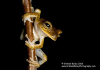 Spotted-thighed Tree Frog - Hlya faciata
