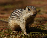 Image of: Spermophilus tridecemlineatus (thirteen-lined ground squirrel)