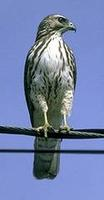 Image of: Buteo platypterus (broad-winged hawk)