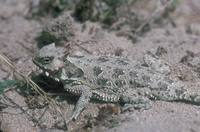 Phrynosoma coronatum - Coast Horned Lizard