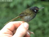 White-eared Tailorbird - Orthotomus cinereiceps