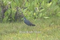 Blackish Rail - Pardirallus nigricans