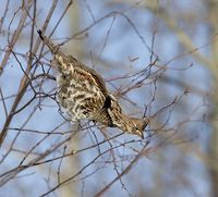 Ruffed Grouse (Bonasa umbellus) photo