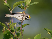 Golden-winged Warbler (Vermivora chrysoptera) photo