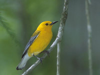 Prothonotary Warbler (Protonotaria citrea) photo