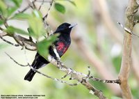 Black-and-crimson Oriole - Oriolus cruentus