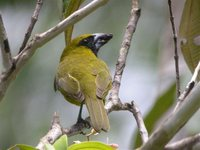 Yellow-green Grosbeak - Caryothraustes canadensis