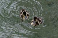 Black Bellied Whistling Ducklings