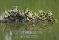 A group of edible frogs ( Rana esculenta ) with reflection in a pool stock photo