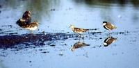 Pectoral Sandpiper, Sharp-tailed Sandpiper & Red-kneed Dotterel