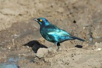 : Lamprotornis nitens; Cape Glossy Starling