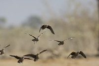 : Pterocles burchelli; Burchell's Sandgrouse