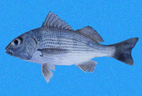 Haemulopsis axillaris, Yellowstripe grunt: fisheries