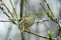 Image of: Phylloscopus pulcher (buff-barred warbler)