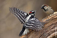 Image of: Picoides pubescens (downy woodpecker), Passer domesticus (house sparrow)