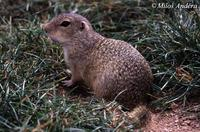 Spermophilus citellus - European Ground Squirrel